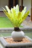 Potenciômetro das plantas de jarro tropical Fotos de Stock