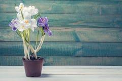 Potenciômetro de flor com açafrão Fotografia de Stock