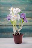 Potenciômetro de flor com açafrão Fotos de Stock