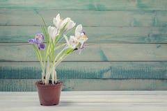 Potenciômetro de flor com açafrão Imagens de Stock
