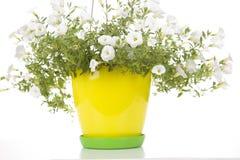 Potenciômetro de flor do jardim com a planta branca do petúnia isolada no branco fotografia de stock