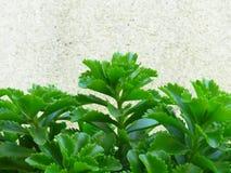Potenciômetro Sedum de rastejamento dourado Live Perennial Plant Groundcover com as flores amarelas com folha verde imagem de stock royalty free