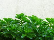 Potenciômetro Sedum de rastejamento dourado Live Perennial Plant Groundcover com as flores amarelas com folha verde fotografia de stock royalty free