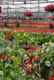 Potenciômetros de florescência imagens de stock royalty free