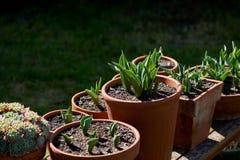 Potenciômetros do jardim da terracota backlit em um banco de madeira com plantações de tulipas e de plantas carnudas novas fotografia de stock royalty free