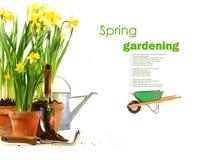 Potenciômetros dos daffodils com os carregadores de borracha no branco Foto de Stock