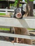 Potenciômetro bonito porco inchado Imagens de Stock