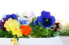 Potenciômetro branco com Viola Pansy Flowers, close up Imagens de Stock