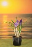 Potenciômetro com açafrões contra o por do sol do mar Foto de Stock Royalty Free