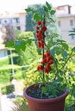 Potenciômetro com tipo tomates da cereja crescidos no balcão da casa fotos de stock royalty free