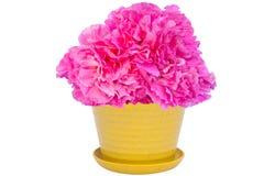 Potenciômetro da flor cor-de-rosa do cravo fotografia de stock royalty free