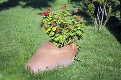 Potenciômetro de argila com as flores de florescência do gerânio Foto de Stock Royalty Free