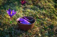 Potenciômetro de argila com chá preto florido com pétalas do açafrão Foto de Stock