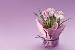 Potenciômetro de flor com açafrões no fundo roxo Fotografia de Stock Royalty Free