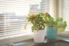 Potenciômetro de flor dois na soleira Imagem de Stock Royalty Free