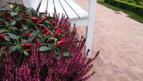 Potenciômetro de flor exterior com pimenta de pimentão Fotos de Stock