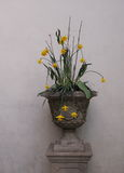 Potenciômetro de flor velho com narcisos amarelos foto de stock royalty free