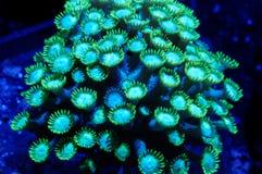 Potenciômetro de flor verde Coral Underwater Imagem de Stock