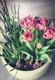 Potenciômetro de flores com flores da mola: tulipas e lírio cor-de-rosa do vale Jardinagem do recipiente da primavera Fotos de Stock Royalty Free
