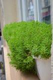 Potenciômetro verde perto da janela em Lviv Fotos de Stock