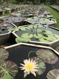 Potenciômetros da planta de Lotus imagem de stock