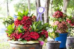 Potenciômetros de flor da probabilidade de intercepção Sião. Fotos de Stock