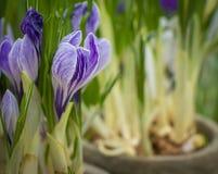 Potenciômetros de flor do açafrão Imagens de Stock Royalty Free