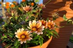 Potenciômetros de flores do Gazania Fotografia de Stock Royalty Free