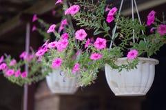 Potenciômetros de suspensão com flores fora Foto de Stock