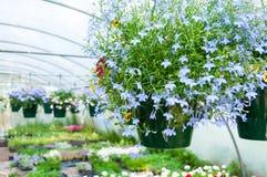 Potenciômetros de suspensão das flores na estufa Foto de Stock