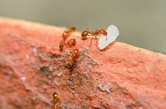Potencia de la hormiga de fuego Imagenes de archivo