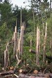 Potencia de la naturaleza, árboles encajados a presión en media tormenta del tornado Imagenes de archivo