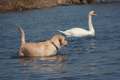 Potential capture. Shot of the bathing dog with swan stock image