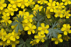 Potentilla Royalty Free Stock Image