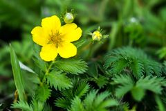 Potentilla anserina. Silverweed, Potentilla anserina leaf and yellow flower Stock Photos