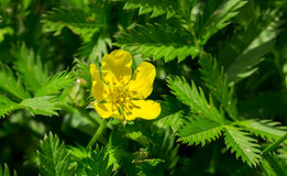 Potentilla anserina, Silverweed. Silverweed, Potentilla anserina leaf and yellow flower Royalty Free Stock Photos