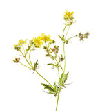 Potentilla argentea L. Stock Photography