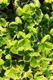 Potentilla argyrophylla royalty free stock photo
