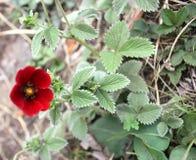 Potentilla atrosanguinea, Himalayan cinquefoil, Ruby cinquefoil Royalty Free Stock Photos
