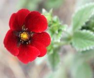 Potentilla atrosanguinea, Himalayan cinquefoil, Ruby cinquefoil Stock Photos