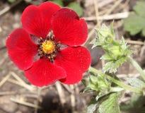 Potentilla atrosanguinea, Himalayan cinquefoil, Ruby cinquefoil Stock Photography