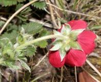Potentilla atrosanguinea, Himalayan cinquefoil, Ruby cinquefoil Stock Image