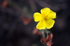 Potentilla erecta Royalty Free Stock Image