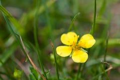 Potentilla erecta tormentil zbliżenie, septfoil, zjeżony pięciornik, złoty kwiat zdjęcia royalty free