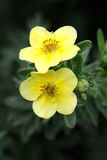 Potentilla flower close-up Stock Images