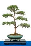 Potentilla fruticosa as bonsai tree Royalty Free Stock Photos
