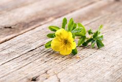 Potentilla fruticosa Goldfinger  flower close-up on natural wooden background Stock Images