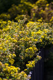 Potentilla fruticosa shrub Royalty Free Stock Photos