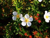 Potentilla fruticosa u. x27; Abbotswood& x27; Lizenzfreie Stockbilder