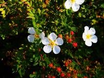 Potentilla fruticosa 'Abbotswood' Royalty Free Stock Image